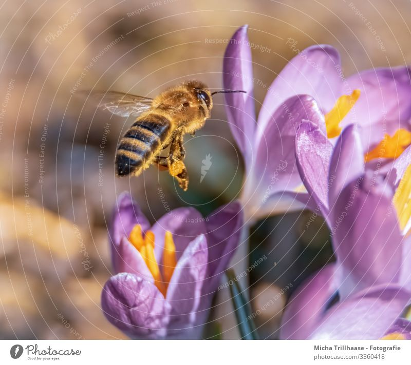 Flying bee over flowers Nature Plant Animal Sunlight Beautiful weather Flower Crocus Blossom Wild animal Bee Animal face Wing Insect Legs Head Eyes Feeler 1