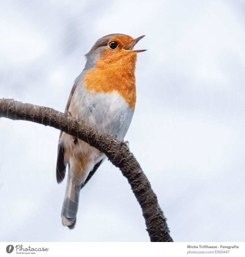 Singing robin Nature Animal Sky Sunlight Beautiful weather Tree Branch Wild animal Bird Animal face Wing Claw Robin redbreast Beak Head Eyes Feather Plumed 1