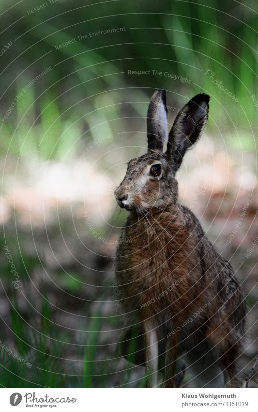 Brown hare on a forest path has discovered the photographer Environment Nature Spring Summer Field Forest Animal Wild animal Animal face Pelt