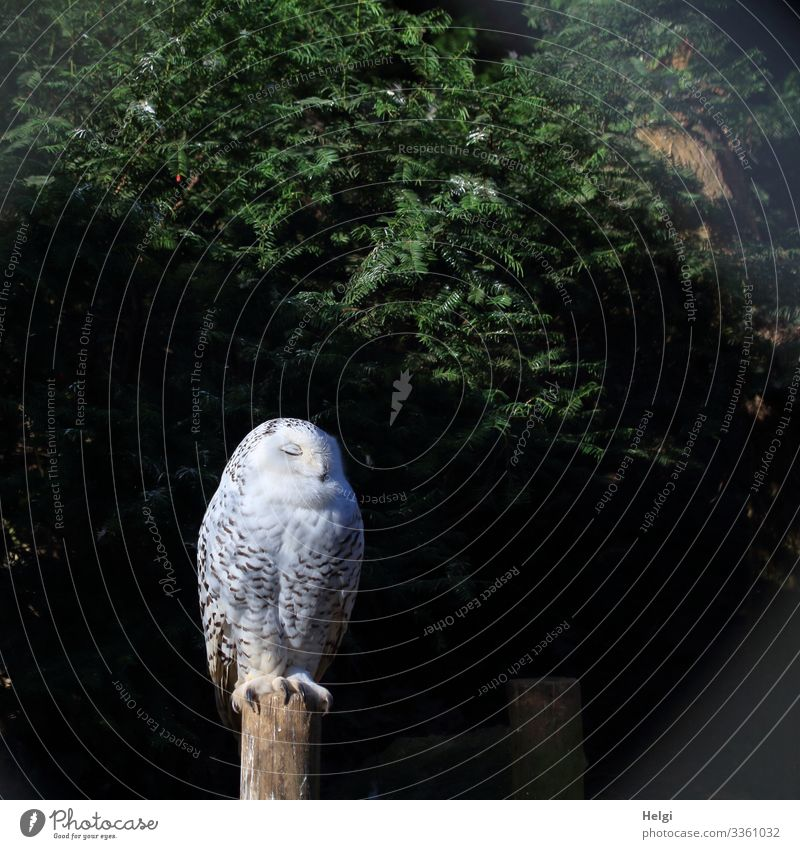 a snowy owl sits on a pole with its eyes closed Environment Nature Plant Animal Winter Tree Wild animal Bird Zoo Snowy owl 1 Sleep Stand Uniqueness Natural