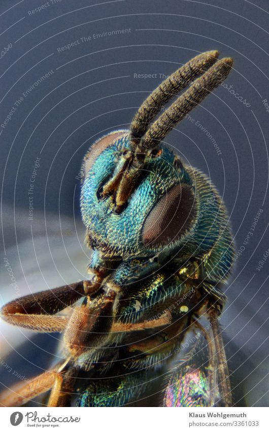 Ergot wasp under the microscope Environment Nature Animal Summer Wild animal Dead animal chalcid wasp Insect 1 Exotic Fantastic Glittering Blue Brown Green