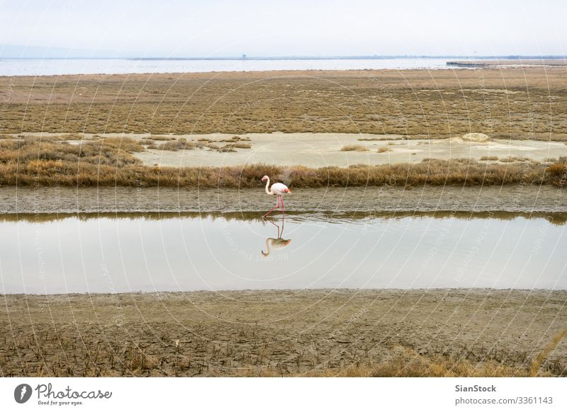 Lonely Flamingo on delta of river Evros, Greece Beautiful Winter Environment Nature Landscape Sky Tree River Aircraft Bird Natural Blue Yellow White Loneliness