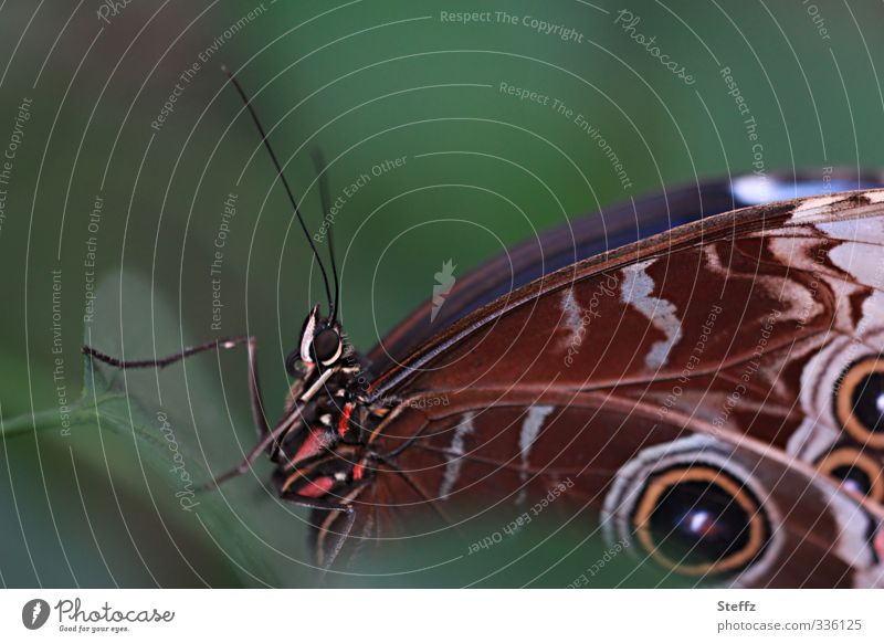 manifestation Environment Nature Summer Butterfly Wing blue butterfly blue Morphof age eye stains Pattern Noble butterfly Browns morphoid age Near Natural