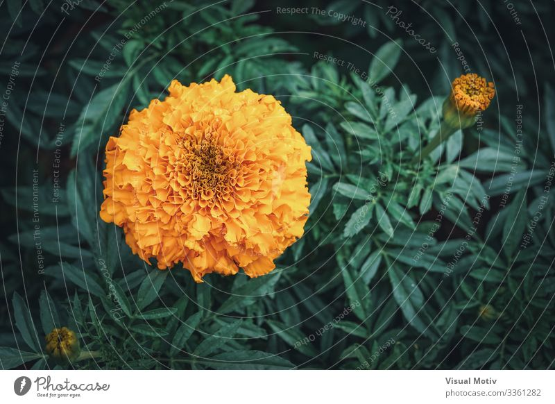 African marigold flower in a garden Elegant Beautiful Summer Garden Decoration Gardening Nature Plant Flower Leaf Blossom Park Meadow Blossoming Fresh Natural