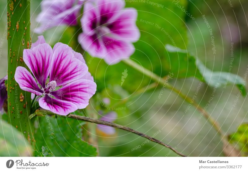 Purple mallow flower in natural background. Concept of nature. Tea Garden Nature Plant Spring Flower Blossom Wild plant Meadow Virgin forest Growth Natural