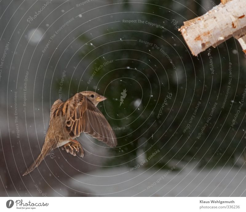 approach Animal Winter Snow Wild animal Bird Wing Claw 1 Flying Brown Green White sparrow female Birdhouse Colour photo Exterior shot Deserted Day Flash photo