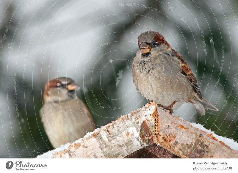 What are you saying? 1 Environment Nature Winter Snow Snowfall Bird Animal face Wing Claw Sparrow passer domesticus To feed Feeding Brown Gray Colour photo