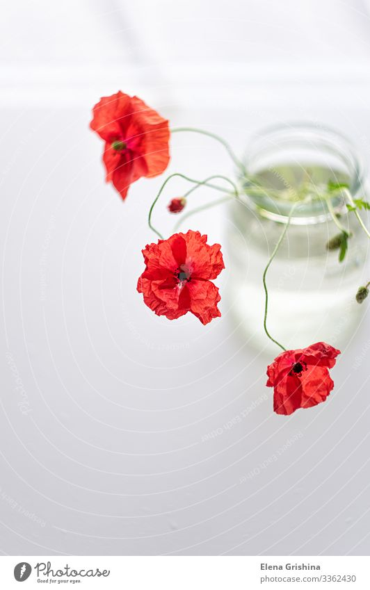Red poppies in a plain glass vase. Flower still life. Summer Plant Blossom Bouquet Glass Water Esthetic Thin Simple Elegant Bright Colour photo Close-up