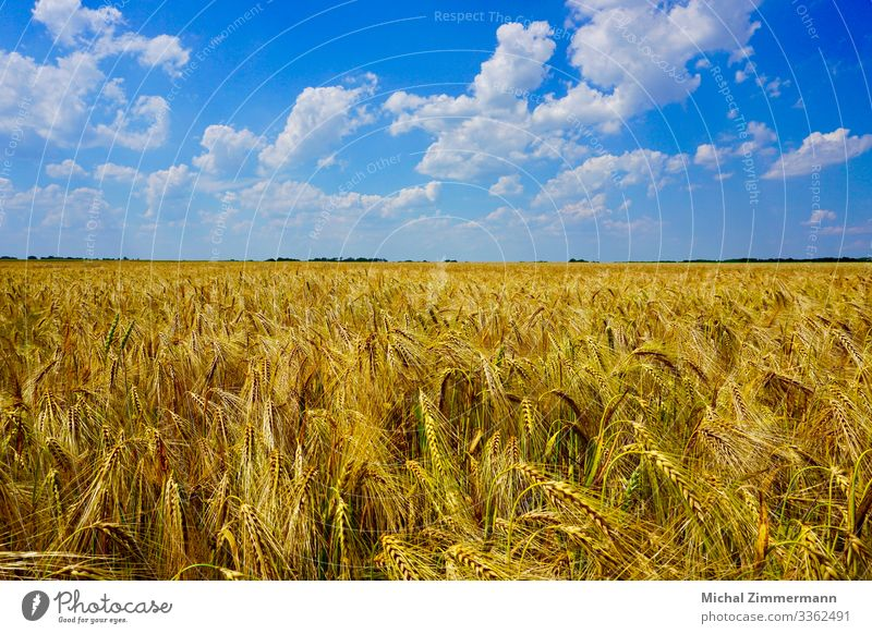 Cornfield in summer with cloudy blue sky Nature Landscape Plant Animal Sky Clouds Summer Beautiful weather Agricultural crop Field Spring fever Colour photo