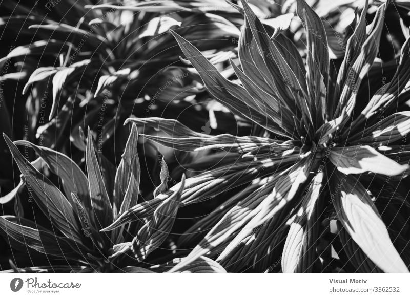 Leaves of Pride of Madeira in black and white Exotic Beautiful Life Calm Garden Environment Nature Plant Leaf Park Growth Fresh Natural Afternoon natural light