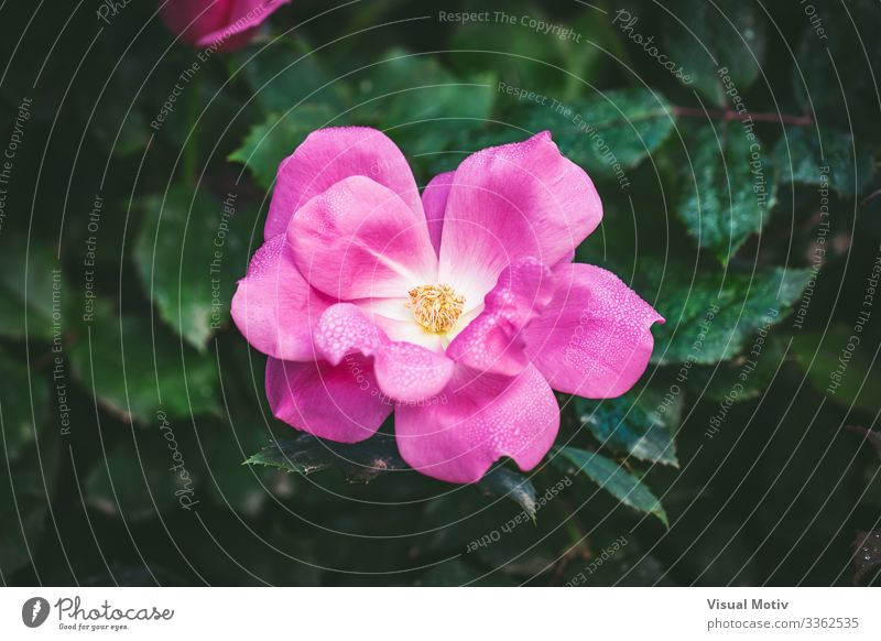 Little rose covered by dew drops Beautiful Fragrance Garden Nature Plant Drops of water Flower Blossom Park Fresh Small Natural Green Pink Colour rose petals