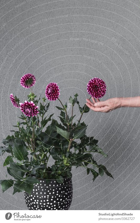 Hand touching blooming dahlia flowers Pot Beautiful Garden Gardening Woman Adults Nature Plant Flower Blossom Touch Blossoming Growth Gray Green Red Black