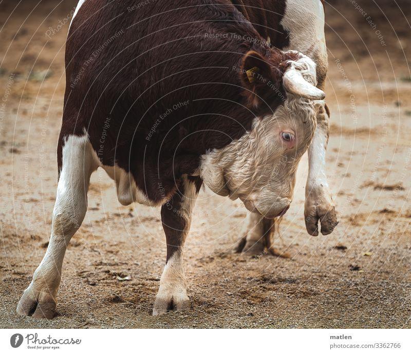 Bull on 3 legs Bullfight Taurus Hoof Sand Turnaround slowed Deserted Farm animal Legs Animal Exterior shot
