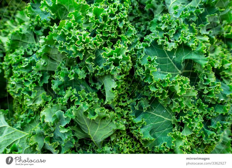 close up bunch of fresh healthy Curly kale leafy greens Food Vegetable Lunch Dinner Lifestyle Beautiful Healthy Healthy Eating Fitness Wellness Summer Garden