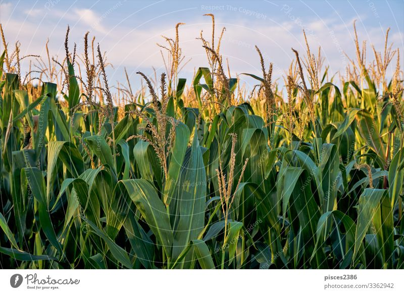 Corn field in front of blue sky and clouds Summer Nature Jump Yellow agricultural agriculture autumn Background picture beauty bread bright cereal close color
