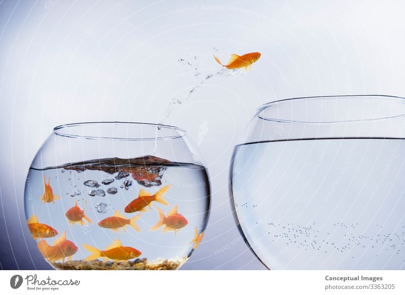 Goldfish jumping from crowded bowl Freedom Moving (to change residence) Animal Pet Jump Uniqueness Beginning Idea Animal themes Arrival Change Crowded