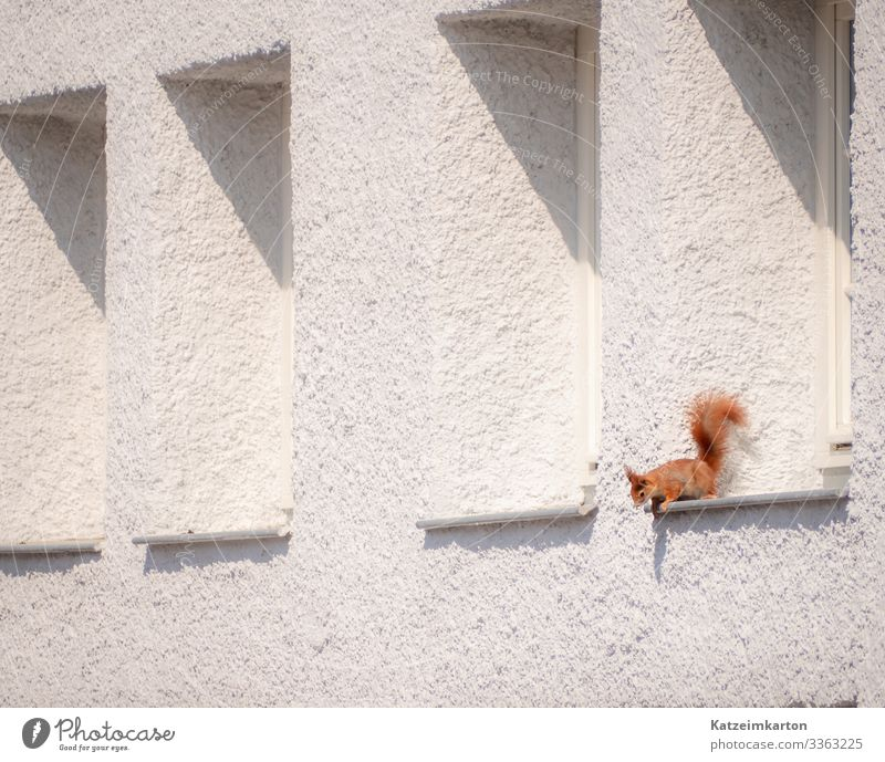 Squirrel in the window Germany Europe Town House (Residential Structure) Wall (barrier) Wall (building) Facade Animal Wild animal Animal face Pelt Claw 1