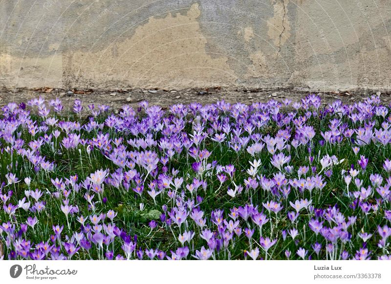 Many crocuses or spring overnight Plant Earth Spring Blossom Crocus Meadow Wall (barrier) Wall (building) Concrete Beautiful Yellow Gray Green Violet Happy