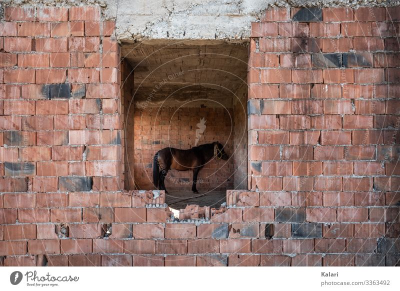 A horse stands tied up and alone in a ruined building Horse dilapidated Stand exploited connected Keeping of animals forsake sb./sth. apathetic Bad Animal