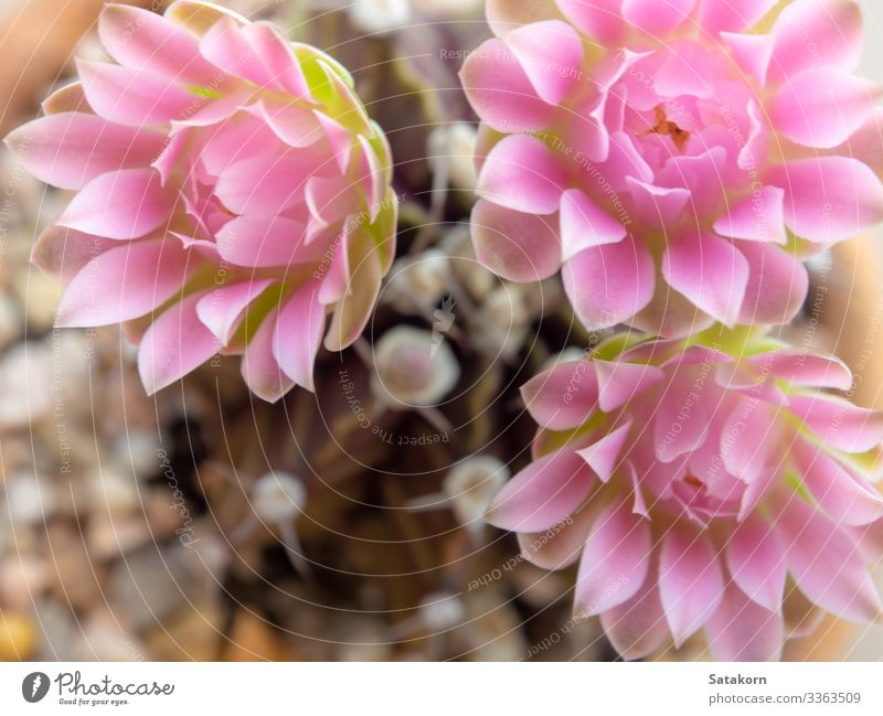 Pink delicate petal flower of Gymnocalycium Cactus flower Garden Decoration Nature Flower Blossom Fresh Natural Colour pink flowers Succulent plants cacti thorn