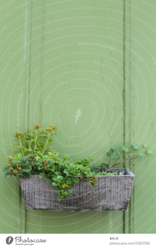 Green plants, ivy and stonecrop, grow in a beautiful wooden flower box, which hangs as decoration and ornament on a green wooden wall, a hut in the garden.