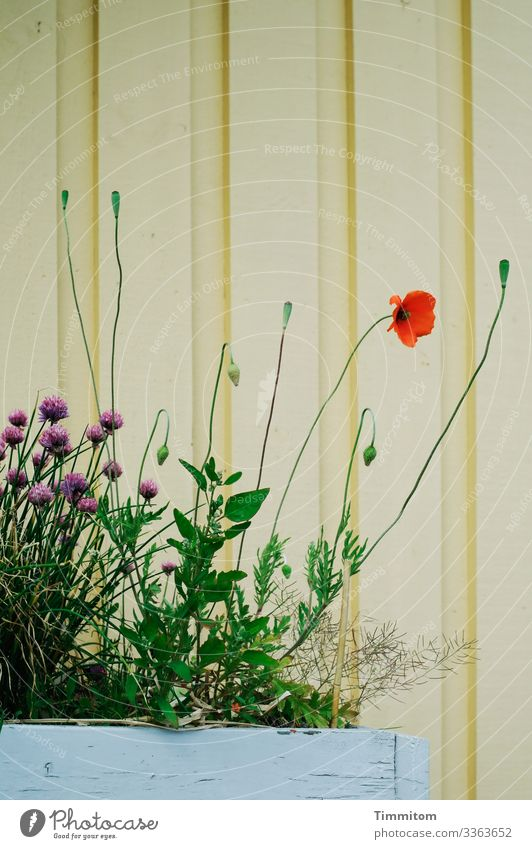 poppy seed in front of the house Vacation & Travel Plant Blossom Poppy blossom Chives Denmark Vacation home Facade flower tub Wood Simple Natural Yellow Green