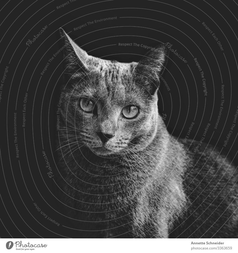 Cat Russian Blue Elegant Animal Pet 1 Poverty Esthetic Contentment Black & white photo Interior shot Neutral Background Animal portrait Looking into the camera