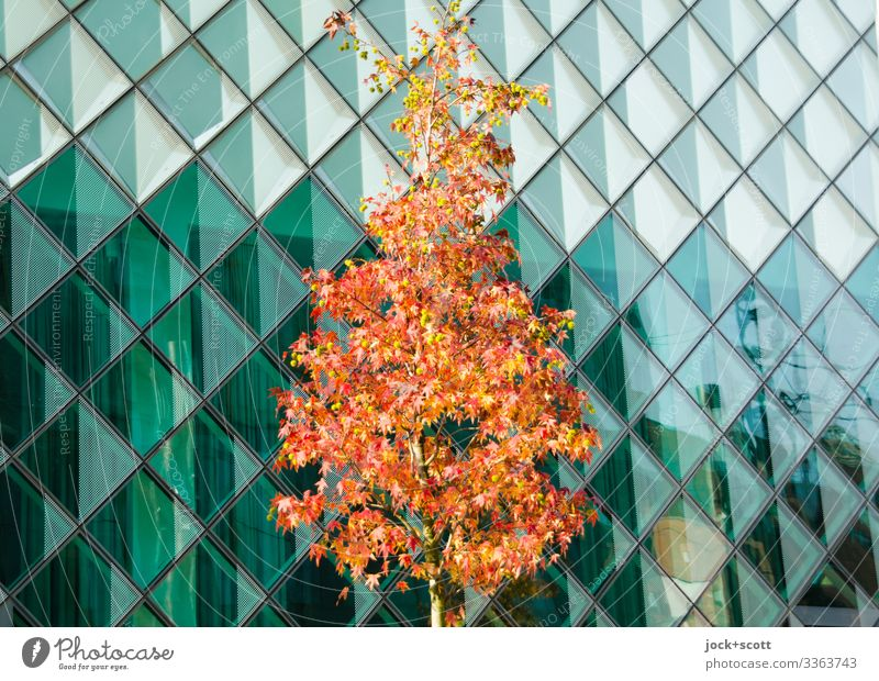 Tree in autumn in front of glass facade Autumn Glas facade Modern Reflection discoloured Manmade structures Contrast transparent facade cross-shaped lines