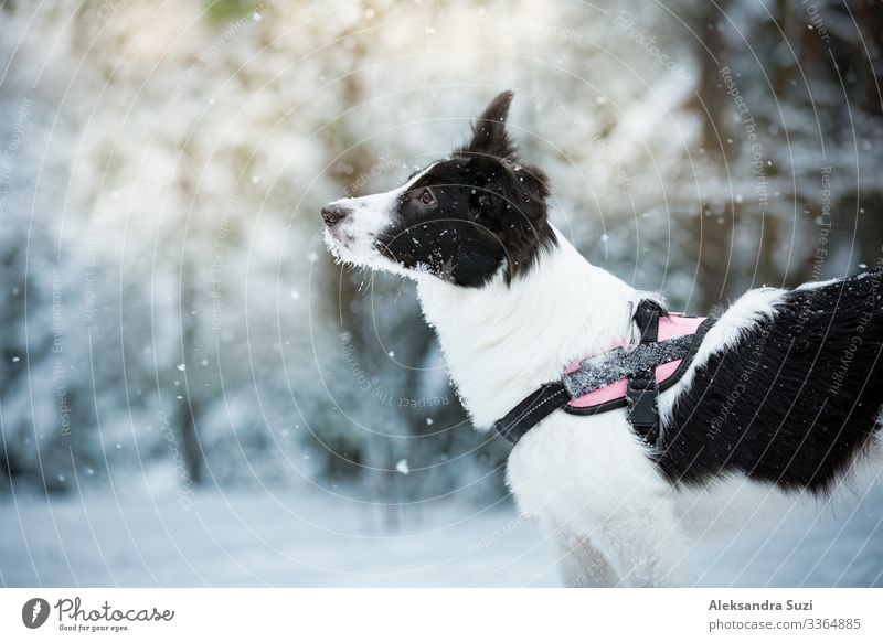 dog in snowy forest Beautiful candid Cold Day December Dog Emotions To enjoy Finland Forest Friendship Frost Joy Playing Happy Jump Leisure and hobbies Love