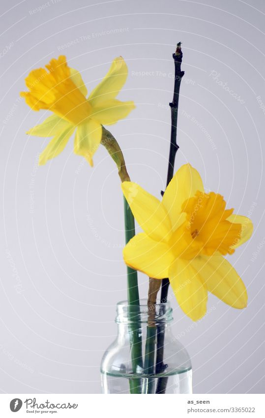 jonquils Decoration Mother's Day Easter Spring Plant Flower Blossom Narcissus Wild daffodil Twig Bouquet Glass Water Blossoming Illuminate Esthetic Friendliness