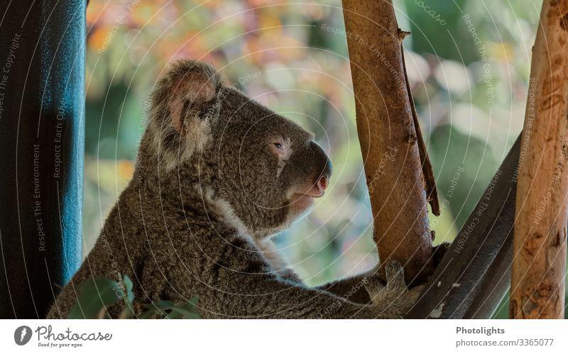 koala Environment Nature Animal Climate change Virgin forest Australia Australia + Oceania Wild animal Animal face Koala 1 Crouch Sleep Queensland Claw Climbing