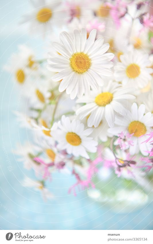 Marguerite Bouquet marguerites daisy Spring flower Summerflower bleed Pink Blossoming Close-up Fresh White Bright Blossom leave already