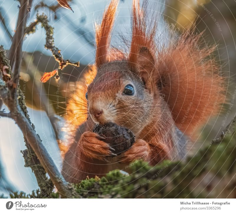 Squirrel with a nut in his paw Nature Animal Sky Sun Sunlight Beautiful weather Tree Twigs and branches Wild animal Animal face Pelt Claw Paw Head Ear Eyes Nose