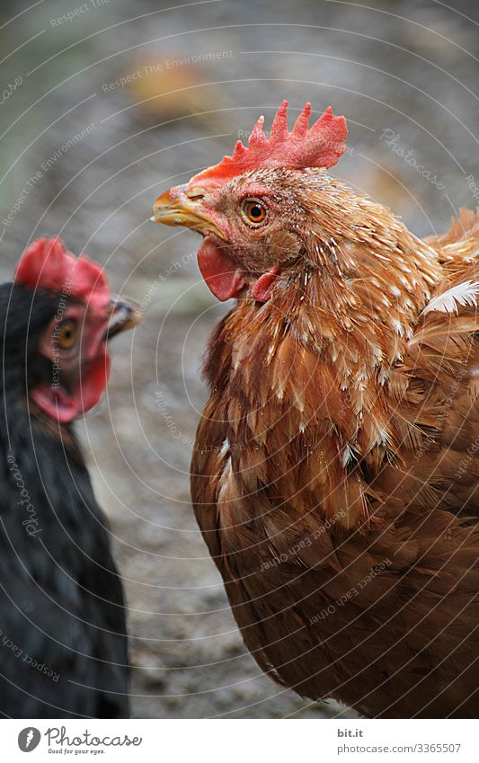 Two happy chickens with brown and black plumage with shallow depth of field, in free-range husbandry, face each other and look around the barn. Food Nutrition