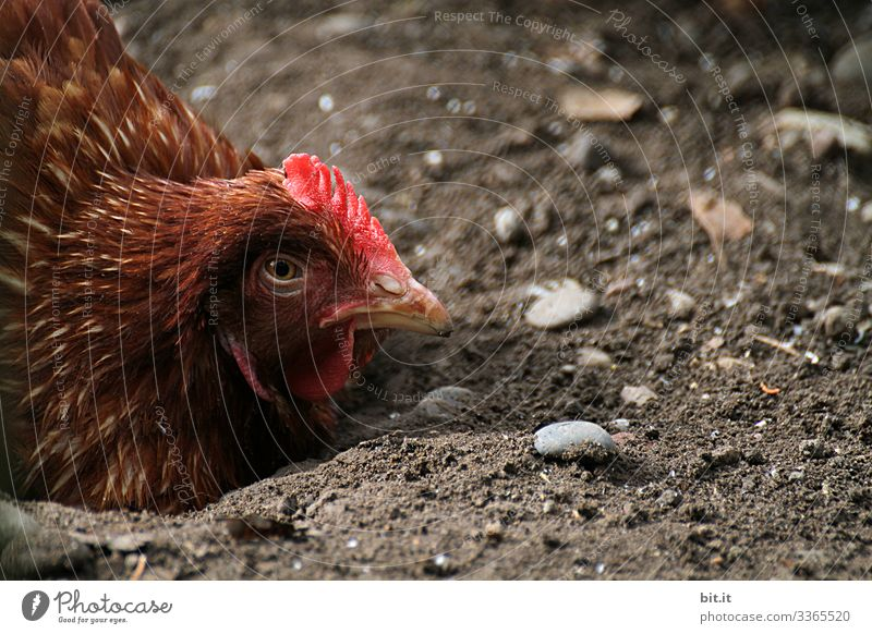 Tired, brown chicken in floor position, lying on the ground in the earth and looking into nature, with half closed eyes and a sad look. Food Nutrition