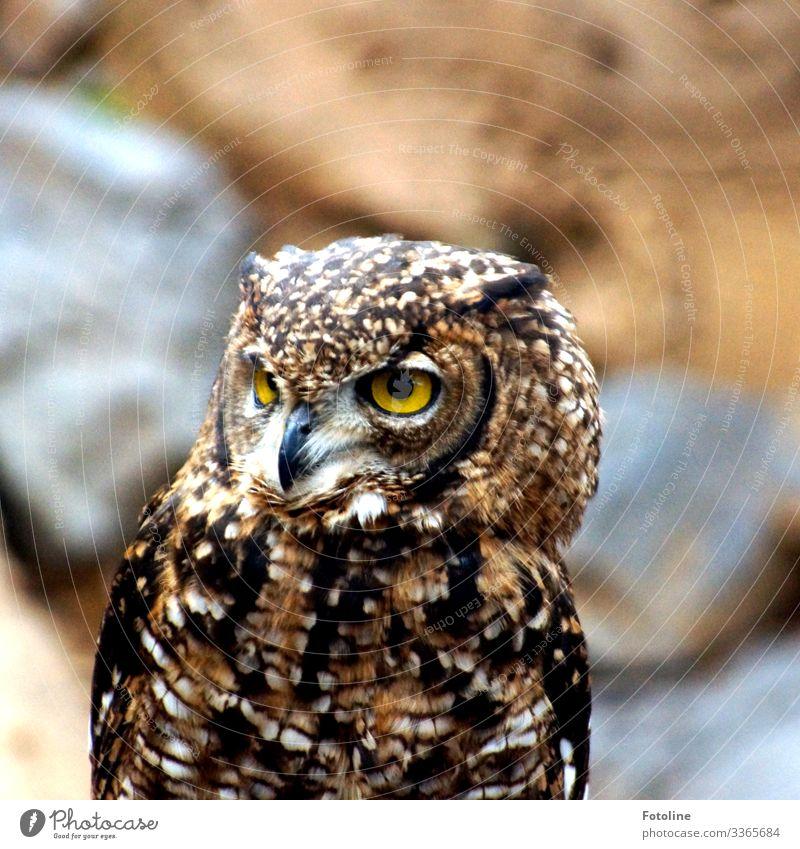 Whoo-hoo-hoo! Animal Wild animal Bird Animal face 1 Near Natural Soft Brown Yellow Owl birds Owl eyes Beak Feather Colour photo Subdued colour Multicoloured