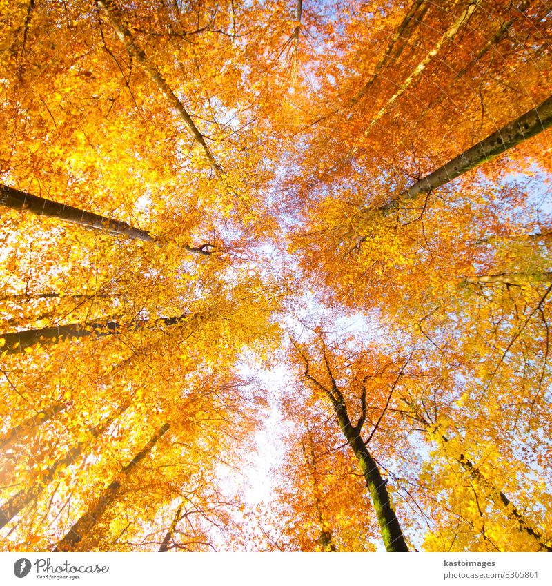 Trees in fall. Beautiful Sun Decoration Environment Nature Landscape Plant Sky Autumn Leaf Park Forest Bright Natural Blue Yellow Gold Red Colour Top branch