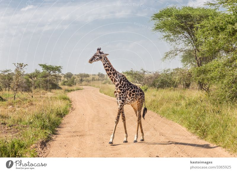 Solitary giraffe in Amboseli national park, Kenya. Beautiful Vacation & Travel Tourism Safari Culture Nature Landscape Animal Grass Park Stand Bright Long Wild