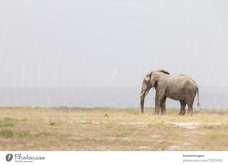 Herd of wild elephants in Amboseli National Park, Kenya. Safari Summer Mother Adults Group Environment Nature Landscape Animal Large Tall Wild Power Protection