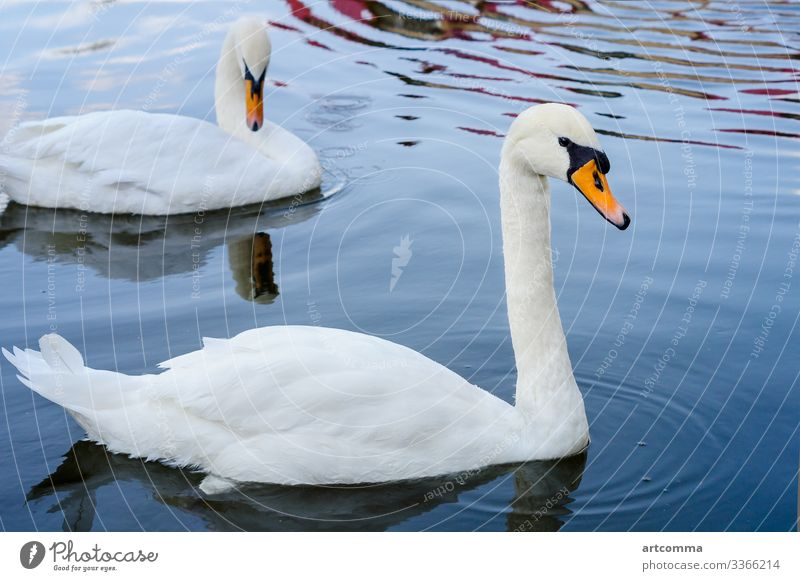 Two swans floating on the water, park animal curiosity cute footpath grass green hedgehog nature prickly small smelling snout spiny straw summer wild wildlife