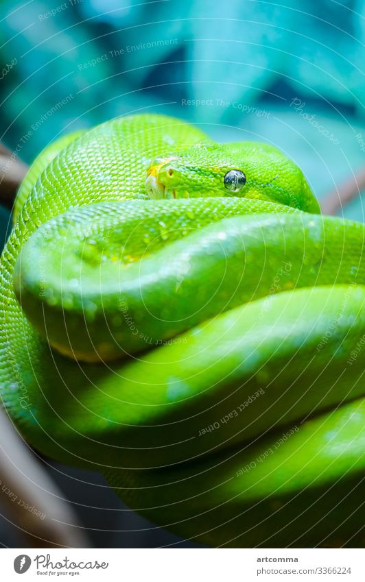 Green tree python on a branch, terrarium animal calm emerald exotic eye fauna forest green head nature reaching reptile scale snake tropic tropical wildlife