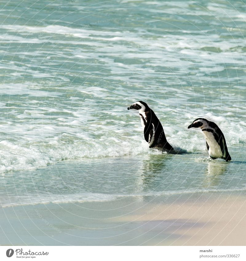 Chill by the sea Nature Landscape Plant Animal Sun Summer Autumn Beautiful weather Warmth Ocean 2 Pair of animals Blue Penguin Waddle Couple South Africa