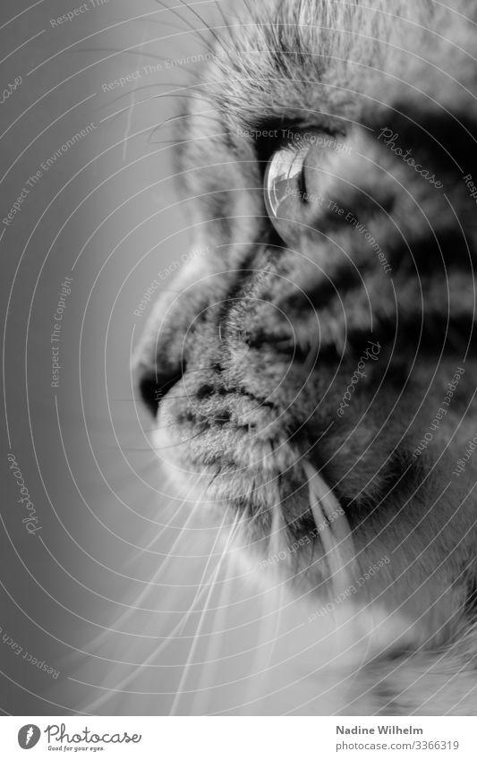 British shorthair cat Animal Pet Cat Animal face Pelt 1 Looking Beautiful Near Gray Black White Elegant Senses Black & white photo Interior shot Close-up Day