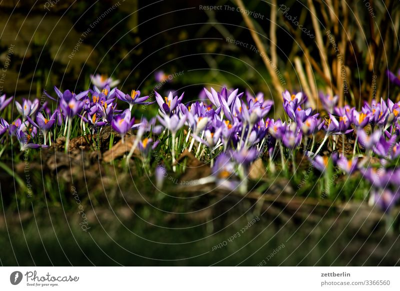 crocuses Flower Blossoming Garden Grass Garden plot Deserted Nature Plant Lawn Calm Copy Space Depth of field Meadow Spring flowering plant Garden allotments