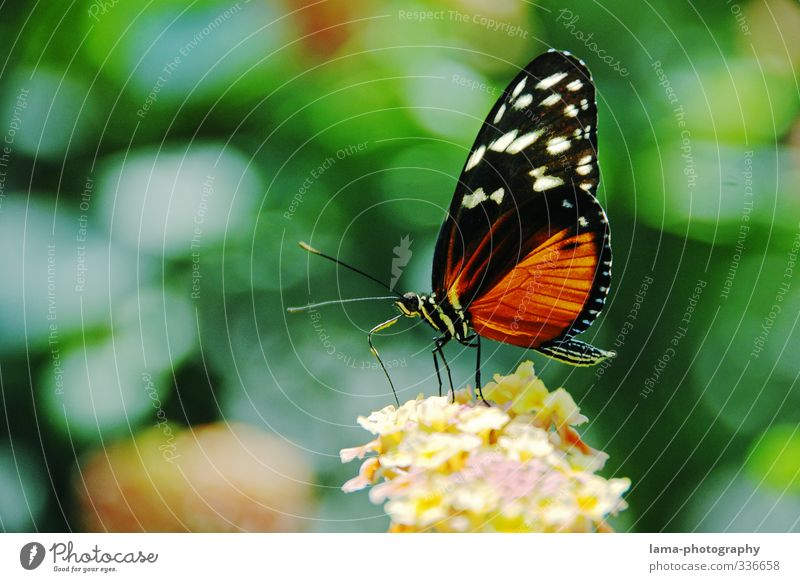 snack time Summer Flower Blossom Butterfly Tiger Passion Fritillary Heliconius ismenius 1 Animal Eating Flying Nectar Foraging Delicate Colour photo