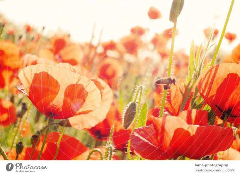 Summ...summ...summer meadow Sunlight Spring Summer Beautiful weather Blossom Poppy Poppy blossom Poppy field Corn poppy Meadow Flower meadow Bee Warmth Red