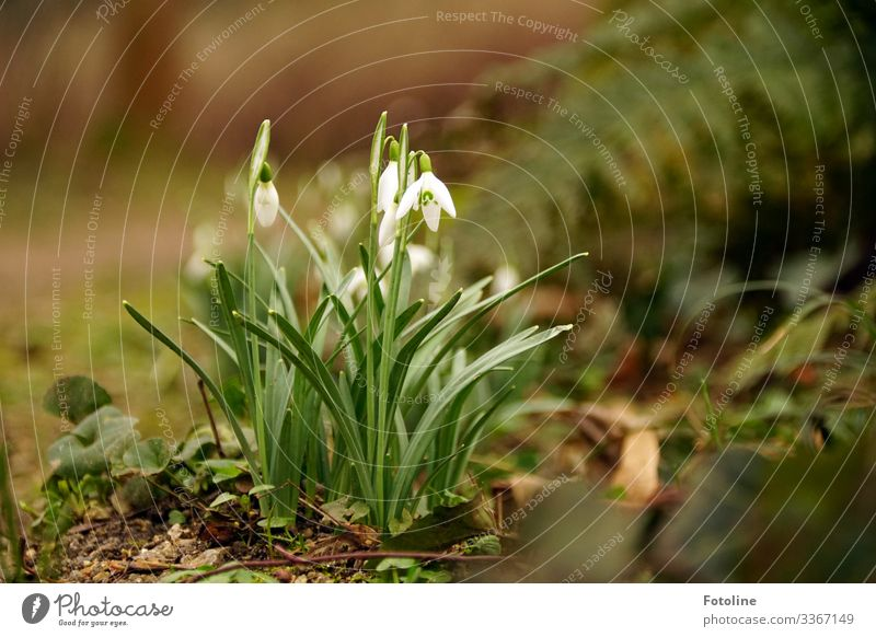 Herald of Spring Environment Nature Plant Elements Earth Sand Flower Blossom Garden Park Bright Small Near Natural Brown Green White Snowdrop