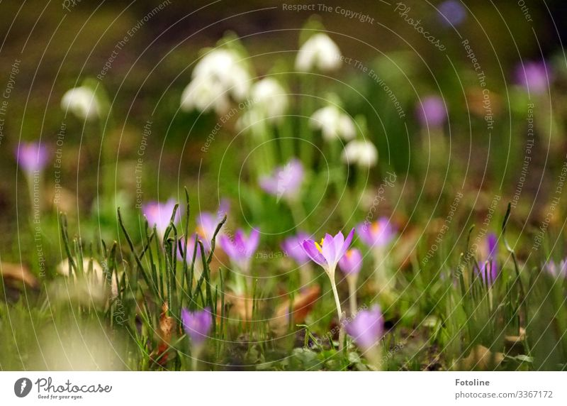spring meadow Environment Nature Landscape Plant Elements Earth Spring Beautiful weather Flower Blossom Garden Park Meadow Bright Near Natural Green Violet