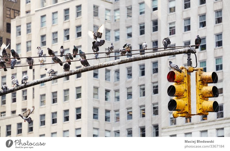 Traffic light post with pigeons in New York City. Animal High-rise Building Wall (barrier) Wall (building) Street Wild animal Bird Pigeon Group of animals Flock