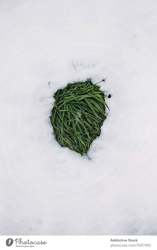 Green grass under melting snow green thaw white background nature meadow early season weather winter spring warm plant fresh patch ice cold life snowbound